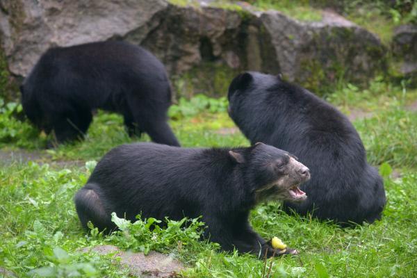 Bild 1 von 4: Im Tierpark Berlin bekommen die Brillenbären ihr Futter.