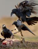 Göttervögel - Galgenvögel