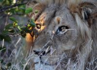 Die Magie des Leoparden - Ökotourismus in Südafrikas Wildreservaten