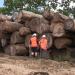 Die Ausbeutung der Urwälder