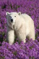 Eisbärensommer