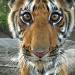 Tiger hautnah!
