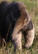 Big Five Südamerika - Der Ameisenbär