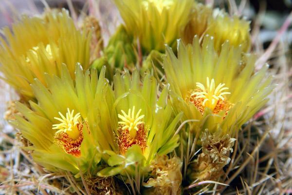 Bild 1 von 3: Seltene Blütenpracht nach Regen: Kaktusblüte in der Anza-Borrego-Wüste