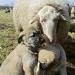 Bodyguards für Schafe - mit Kangals gegen Wölfe