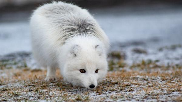 Bild 1 von 12: Der Polarfuchs ist das einzige Landsäugetier Islands, das schon vor der Ankunft des Menschen dauerhaft hier lebte. Nur etwa 20 Prozent tragen im Winter ein weißes Fell.
