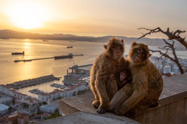 Bild 1 von 15: Berberaffen sind auf den Felsen von Gibraltar heimisch.