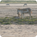 Bilder zur Sendung: Indiens wilde Esel