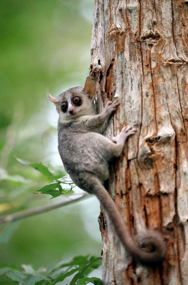 Bild 1 von 6: Mausmakis gehören zu den kleinsten Primaten der Erde. Die nachtaktiven Tiere leben nur auf Madagaskar und sind in ihrem Bestand stark bedroht.