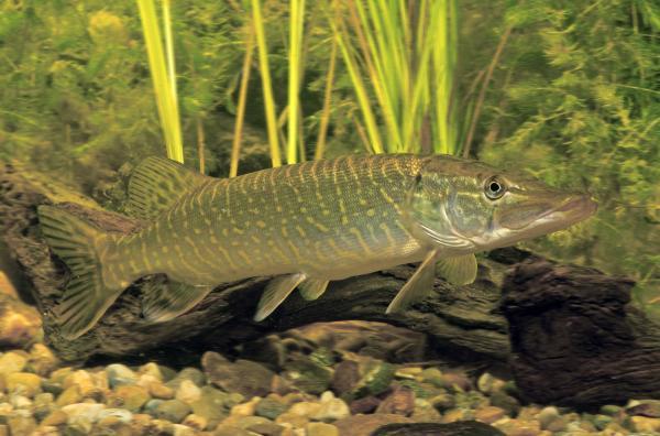 Bild 1 von 6: Einige unserer heimischen Fische, wie etwa der Hecht, legen massenhaft Eier ab und überlassen diese sich selbst.