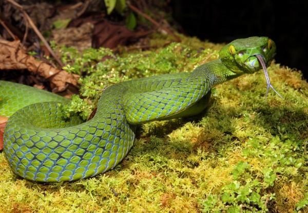 Bild 1 von 2: Schon allein ihre Farbe lässt die Schlange gefährlich aussehen.