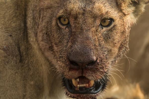 Bild 1 von 6: Besonders für die männlichen Löwen ist das Überleben hart. Denn während die Löwinnen ins Rudel integriert werden, kann es immer nur einen König geben.