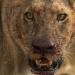 Gnadenlose Wildnis - Überlebenskampf der Löwen