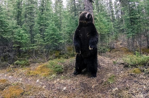 Bild 1 von 5: Da die meisten Bären von Natur aus Einzelgänger sind, markieren sie ihr Revier, um in Ruhe gelassen zu werden. Dafür reiben sie sich an Bäumen und hinterlassen dabei eine Duftspur, die ihren Artgenossen Geschlecht, Alter und Stärke des Bären mitteilt