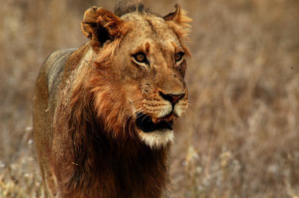 Bild 1 von 2: Für viele ein Traum: Löwen in freier Wildbahn beobachten.