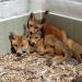 Brüssels wilde Tiere - Gekommen, um zu bleiben