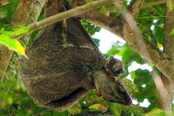 Bild 1 von 4: Auch sogenannte fliegende Lemuren haben in Singapur ihr Biotop gefunden.