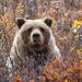 Alaska - Im Land der Bären