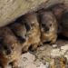 Klippschliefer - Überlebenskünstler in Südafrika