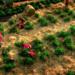 Bilder zur Sendung: Triumph der Tomate
