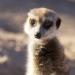 Showmaster aus der Wüste - Südafrikas Erdmännchen