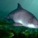 Bilder zur Sendung: Schweinswale - zwischen Sylt und Kanada