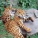 Bilder zur Sendung: Das Geheimnis des Jaguars