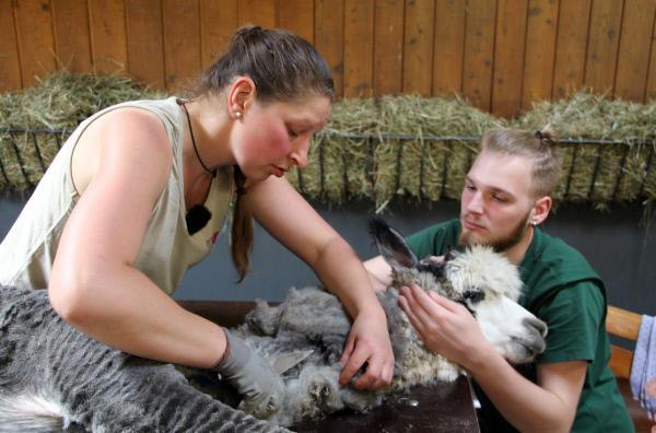 Bild 1 von 2: Pflegerin Karina Maurer schert die Alpakas in der Wilhelma.