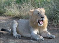Südafrika: Harte Zeiten für Löwen und Geparde