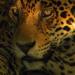 Jaguar - Heimlicher Jäger hautnah