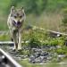 Die unglaubliche Reise der Wanderwölfe