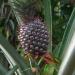 Exotischer Hochgenuss: Ananas & Co.