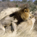 Die Löwen der Kalahari