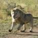 Zwei Löwen auf Reisen - Heimkehr nach Afrika