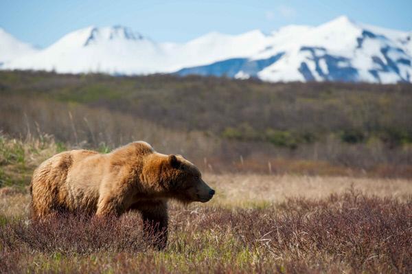 Bild 1 von 1: Jeden Sommer versammeln sich in Alaskas Wildnis hunderte von Grizzlybären. Das Filmteam hat monatelang mitten im Katmai National Park ihre Zelte aufgeschlagen. Es gelang ihnen beim großen Grizzlytreffen Einzelschicksale zu verfolgen und zu dokumentieren.