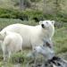 Eisbären und Belugas