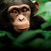 Bilder zur Sendung: Schimpansen
