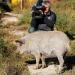 Wollschwein, Sundheimer Huhn & Co. - Wo sind die guten, alten Nutztierrassen?