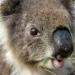 Australien - In den Wäldern der Koalas