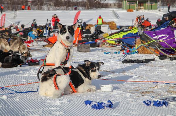 Bild 1 von 5: Marit tritt das Rennen mit 14 Zughunden an, hier sieht man Erro und seine Schwester Raven.