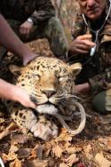 Raubkatzen - Tödliche Angriffe