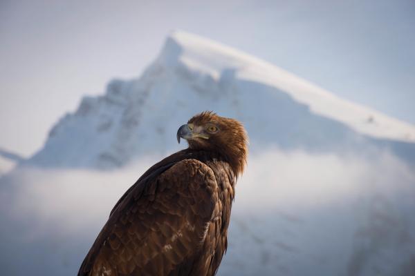 Bild 1 von 15: Steinadler durchstreifen weite Gebiete auf der Suche nach Nahrung und Paarungspartnern. Sie fressen Säugetiere, Vögel, Reptilien, Fische, Amphibien, Insekten und Aas. Das macht sie zu den erfolgreichsten Greifvögeln der Bergwelt.