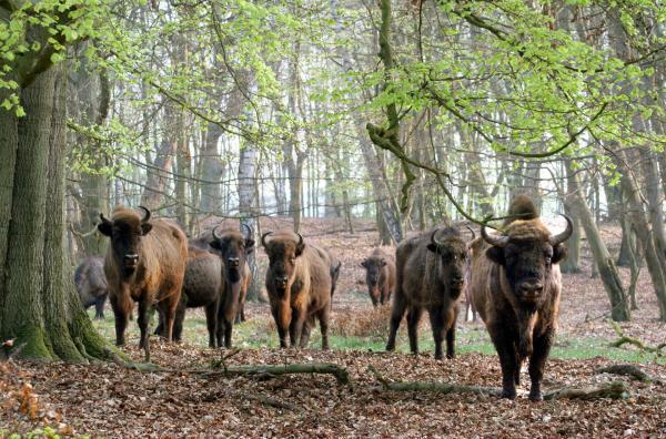 Bild 1 von 8: In Polen leben rund 200 Wisente frei in der Nähe des Oder-Deltas. Immer wieder wandern einzelne Tiere dieser Rinderart auch bis nach Deutschland.