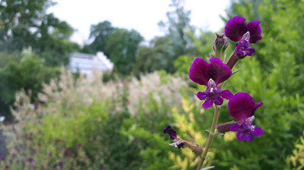 Bild 1 von 2: Klebriges Köcherblümchen.