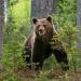 Schwedens Bären - geliebt und gehasst