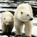 Alaskas Bären