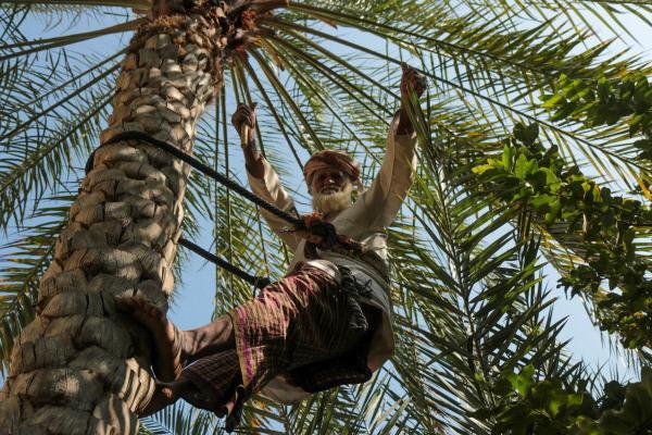 Bild 1 von 4: Omanischer Bauer klettert auf eine Dattelpalme.