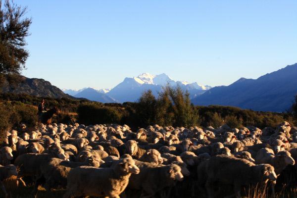 Bild 1 von 15: 35 Millionen Schafe leben in Neuseeland.