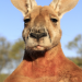 Kängurus - Australiens Rote Riesen