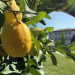 Wo die Zitronen blüh n - Eine süßsaure Reise von den Alpen bis Sizilien